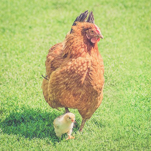 chickens-square